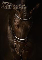 Sheitan (PHOTODINE64 Equus Photography) Tags: cheval horse equus photodine64 horsephotography equinephotography equusphotography equestrianphotography horsephoto horsepicture horsephotographer equestrian equestrianart equestrianartist equineart photographeequestre photographieequestre