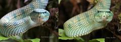 Desktop71-Natural Light (NL) vs Full Flash (FF) Female Bornean Keeled Pitviper (Vince_Adam Photography) Tags: chordata reptilia squamata viperidae tropidolaemussubannulatus trimeresurussubannulatus borneonkeeledpitviper pitviper snakes ular ularkapak ularkapakborneo dangerousanimal venomous wildlife wildlifeofmalaysia wildlifeofborneo borneo herp herps herping herpentofauna herpetology snakesofmalaysia snakesofsoutheastasia snakesofborneo snakesofasia ularengkaradau lowforest greenpitviper sarawak macro nightmacro nightherping southeastasia malaysiansnakes