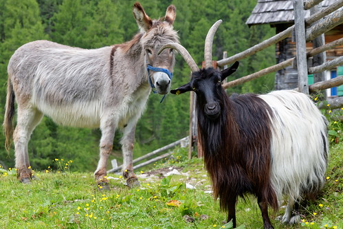 Curious Goat and Donkey