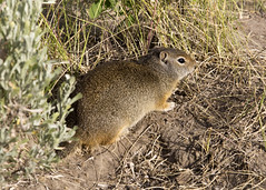 Uinta ground squirrel - Urocitellus armatus 1 (nicoangleys) Tags: tetons grandtetonsnp nationalpark wyoming jacksonhole schwabacherslanding