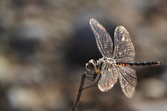 Antike Libelle (NikonTreeMonkey) Tags: libelle dragonfly wings flgel