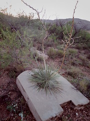 Yucca growing through a chunk of concrete (EllenJo) Tags: pentaxqs1 pentax august 2016 ellenjoroberts ellenjo yucca onthehill verdevalley clarkdale lowertown beneaththepool intheneighborhood august24 az arizona