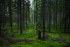 In the woods (Samukosunen) Tags: forest autumn mushrooms fir green mets kuusimets syksy outdoor