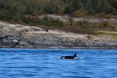 K-13 Skagit (Jennifer Stuber) Tags: seattle washington sanjuanislands sanjuan friday harbor orca killer whale orque killerwhale k13 skagit k13skagit