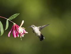 Hummingbird with honeysuckle 2 (Connie Etter Photography) Tags: flight indiana flower eat honeysuckle canon 100400mm rubythroat rubyredthroat