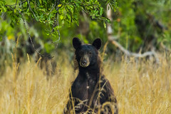 bear2Aug14-16 (divindk) Tags: albeecreekcampground california commonname humboldtredwoods other places scientificname unitedstates ursusamericanus weott bear blackbear camping grass