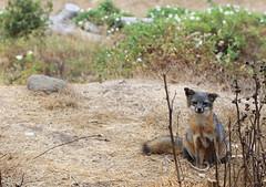 Island Fox, Morning (rarefruitfan) Tags: island fox urocyon littoralis santacruzae endangered threatened animal