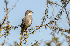 Diuca   Common diuca finch   Diuca diuca (lalo_pangue) Tags: naturaleza nature aves birds sancristóbal parquemetropolitano birding birdwatching