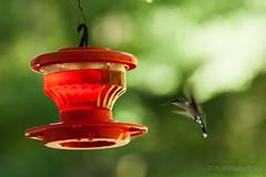 Backyard_Birds_5-7-15-1224 (RobBixbyPhotography) Tags: birds backyard florida jacksonville hummingbirds wren