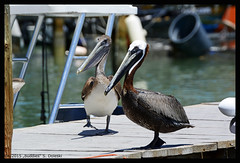 0060_Robbies_Pelican_buddies (xlod) Tags: bird nature water animal wasser florida natur pelican pelikan islamorada floridakeys tier vogel robbies