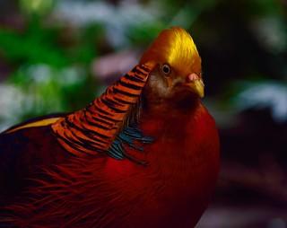 Spring Break 900 - Golden Pheasant (Niagara Falls ON)