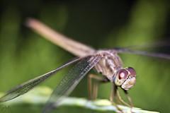 IMG_7631 (Jamil-Akhtar) Tags: pakistan macro insect dragonfly tamron islamabad 200mm closeuplens canon500dcloseuplens canon6d tamron200400f56