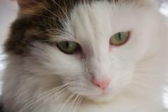 Nostalgic (bertrandwaridel) Tags: cat switzerland suisse nostalgic vaud longhaired woodie echallens longhairedcat