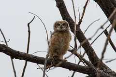 The young Great Horned Owl has a lot to look at in the world