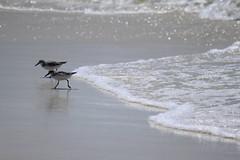 Shorebirds [Explore] (AlisAquilae (Playing Catch-Up!)) Tags: ocean vacation beach birds canon waves florida weekend shore santarosa canont1i