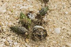 / Hermit Crab (kimtetsu) Tags: animal hermitcrab  okinawa     taketomiisland