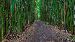 Bamboo Bliss in widescape (820-Photography by James Anderson) Tags: bambooforest maui hana pipiwaitrail waimokufalls jamesa1 820photography