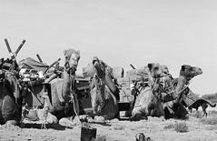 RAD20160610_027 - Munga Thirri Expedition (Kodak BW400CN) (Cecilia Temperli) Tags: rad20160610 arollinadayadayinaroll australia camelexpedition camels dromedaries dromedary trekking desert packcamels film kodak kodakbw400cn nikon nikonfm3a simpsondesert mungathirrisurveyexpedition australiandesertexpeditions