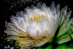 Waterlily2 (amyallison26) Tags: waterlily water pinkflower multipleshotpicture