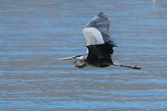 Great Blue Heron_5767 (cpalmerpics) Tags: birds waterbirds largebirds greatblue herons arizona