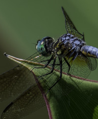 DragonFly_SAF9721 (sara97) Tags: copyright2016saraannefinke dragonfly flyinginsect insect missouri mosquitohawk nature odonata outdoors photobysaraannefinke predator saintlouis towergrovepark urbanpark