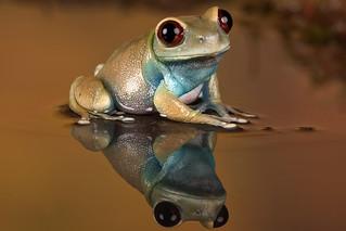 Ruby Eyed Tree Frog, CaptiveLight, Bournemouth, UK