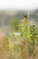 Linotte mlodieuse (kingfisher001) Tags: oiseau lande linotte mlodieuse fringillids passriformes buissonnante