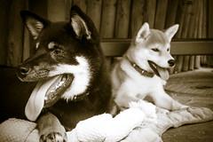 Yotsuba365Day64 (Tetsuo41) Tags: dog shibainu yotsuba