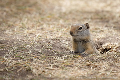 wyoming ground squirrel (johncarney) Tags: usa animal fauna america mammal rodent unitedstates wyoming jacksonhole groundsquirrel wyominggroundsquirrel mormonrow antelopeflats urocitelluselegans