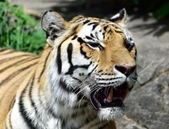 Panting stripes (RichSeattle) Tags: animal animals oregon mouth portland zoo nikon tiger d750 oregonzoo stipes amurtiger richseattle
