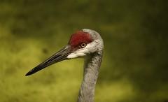 Sandhill Crane (Nutzy402) Tags: crane sandhillcrane sandhillcranesnebraska animal bird nature wildlife birds migration conservancy