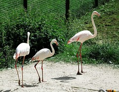 Greater flamingo (Phoenicopterus roseus) at Marwell (Nick.Bayes) Tags: greater flamingo phoenicopterus roseus