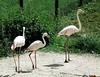 Greater flamingo (Phoenicopterus roseus) at Marwell (Nick.Bayes) Tags: greater flamingo phoenicopterus roseus