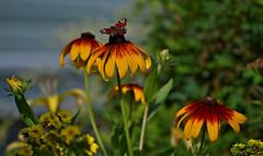 Summer colors (L.Lahtinen (nature photography)) Tags: summer butterfly 55300mm nikond3200 nature nikkor bokeh kukat kasvit kesä luonto flowers finland suomi garden flora perhonen peacockbutterfly europe