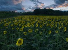 sunflowers (Paolo Dell'Angelo (journey to Italy)) Tags: girasoli tramonto friuli venezia giulia italia