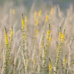 Epis d'or ** (Titole) Tags: squareformat titole nicolefaton wildflowers grasses yellow aigremoine agrimoniaeupatoria friendlychallenges thechallengefactory