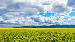 Yellow (pn.praveen) Tags: canolafield kalispell montana farmland yellow cloudscape rapeseed