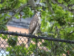 Eternity (Goggla) Tags: nyc new york manhattan east village tompkins square park urban wildlife bird raptor red tail hawk fledgling juvenile eternity