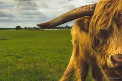 Bull (Jesper Reiche) Tags: sky green nature animal bull horn 1685 d7100