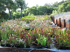 collection overview (meizzwang) Tags: plant mike north trumpet collection american wang pitcher cultivation sarracenia