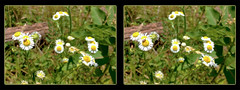 Plant Bug on Daisies - Crosseye 3D (DarkOnus) Tags: pennsylvania buckscounty huawei mate 8 cell phone 3d stereogram stereography stereo darkonus closeup macro ugly daisy daisies weed flower plant bug insect crossview crosseye