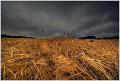 Wheat Field (neilholman) Tags: wheat field