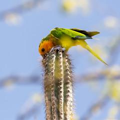 Caribbean Parakeet - Explored :D (caropho) Tags: bonaire dutch caribbean bird outdoor wildlife canon eos cactus parakeet