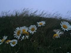 Daisies (rwakefielddrohan) Tags: daisy nature twilight dusk beach grass sky