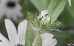 Rudbeckia fulgida (AnGy_87) Tags: fiori margherita rudbeckia yellow fulgida amarillo desaturation natura gialla flora desaturazione flower fiore