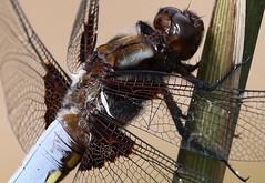 IMG_1558 croppe Libellula depressa (kadely) Tags: eos 70d 55250mm dragonfly dragonflies dragonflie odonates odonata insectes insect insekt insekten identified insekts insecte wildife libellule libellules topf25 infinitexposure