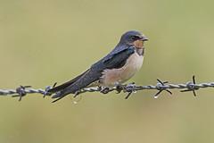 Swallow (Hirundo rustica) (drbut) Tags: swallow hirundorustica swallowsandmartins hirundinidae bird birds nature wildlife outdoor