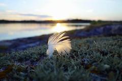 Subtle (brittajohansson) Tags: feather lichen sunset island islet archipelago outdoor landscape evening nature serene simple textures subtle