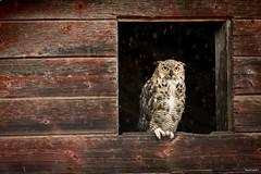 great horned owl 2-6 sharif galal (Sharif Galal, MD) Tags: owl birds bird nature wildlife photography sharif galal calgary canada alberta lovers