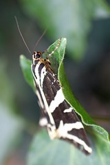 366 - Image 241 - Jersey Tiger Moth... (Gary Neville) Tags: 365 365images 366 366images photoaday 2016 sonycybershotrx100 sony sonycybershotrx100iii rx100 mk3 raynox macro garyneville moth